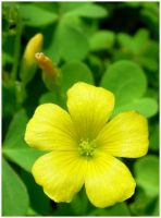 Tiny Yellow Flower in Backyard by shawn529
