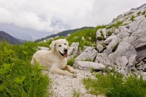 Golden Retriever mountains by archaeopteryx-stocks