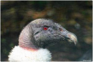 Andean Condor Beauty Portrait by SilkenWinds