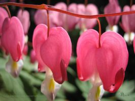 my bleeding heart by ilura-menday-less