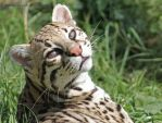 Ocelot by DormysDreamPhotos