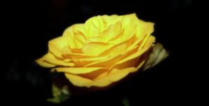 yellow rose by Ghillips