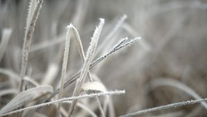 Frosted grass by NickSpiker