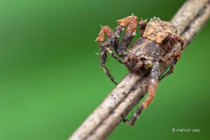 Leaf litter crab spider by melvynyeo