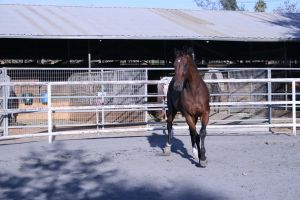 bay horse stock 26 by xbr0kendevotion
