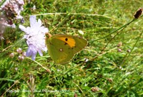 Clouded Yellow. by AdrianDunk