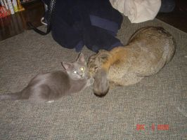 French lop Giant with cat by ryliecat