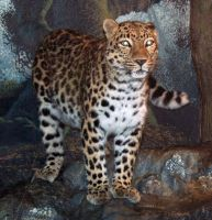 Denver Zoo 35 Leopard by Falln-Stock