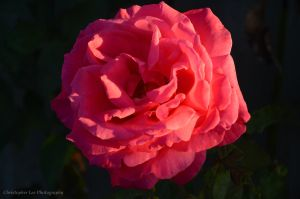 one more pink rose by saxartist05