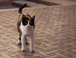 Cats of Morocco IIII by Nevermaketherules