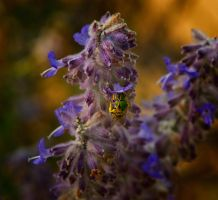 Green Bee on a Dog Violet by boron
