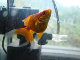 Gold fish 1 by Panopticon-Stock