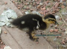 Baby duckling by MaguschildCloud