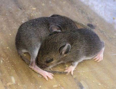 Baby mice are too cute to kill by carvenaked