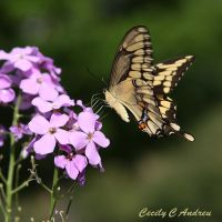 Swallowtail Butterfly by CecilyAndreuArtwork