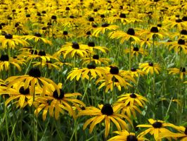 Black-Eyed Susans by Freckles4815162342