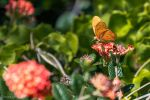 Julia butterfly nectaring by CyclicalCore