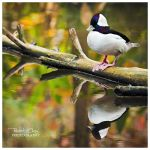 .:Duckie Reflection:. by RHCheng