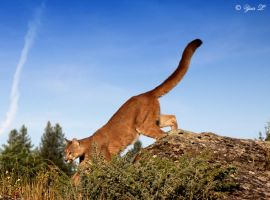 Mountain Lion by Yair-Leibovich