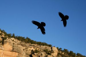 Ravens over the Grand Canyon by Test-Grave