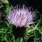 Bull Thistle by TRunna