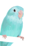 Blue Parrotlet by PinkStrawberryKitty