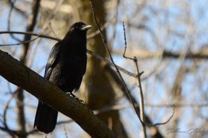 American Crow by GuillaumGibault