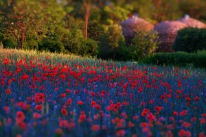 Field of Poppies by wildfox76