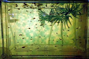 guppies in the nursery by wiccanwitchiepoo