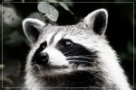 Racoon by 0-Photocyte