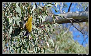 Honeyeater Feeding by DarthIndy