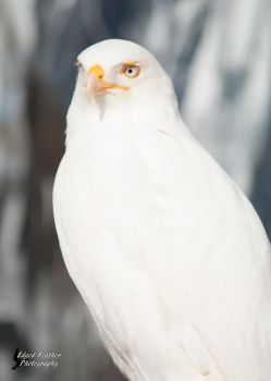 Leucistic Red Tailed Hawk 2 by EdgedFeather