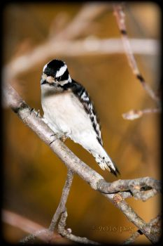 Hairy Woodpecker Female s by caillteone