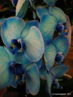 Blue Orchid by NotablePhotography