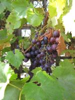Stock - Grapes on Vine by ladykraut