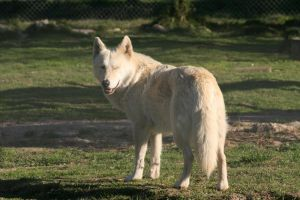White Wolf Stock by RaeyenIrael-Stock