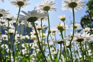 Daisy Days by fencingowlphotos