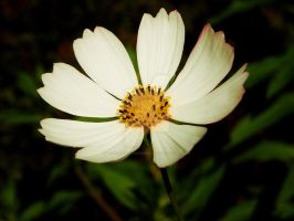 White Flower of Purity by LadyPhotographer492