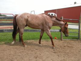 Red Roan Stallion Stock 1 by StridingStrong-Stock