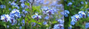 Forget-me-not by tai-na
