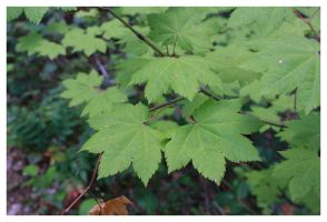 Maple Leaves by McDonkm
