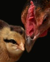 Mother Hen and Baby Chick by Creative-Addict