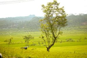 tree and rice field by blur-stock