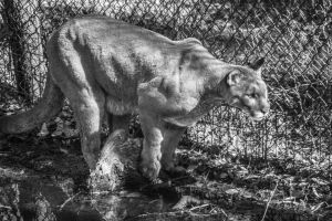 Florida Panther 3 by DustinHern
