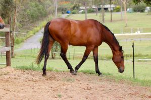 Warmblood - Head down walking by Chunga-Stock