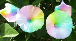 Rainbow Morning Glories by Draconian-Doxology