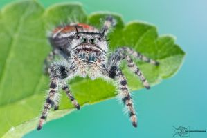 Jumping Spider - Phidippus adumbratus by ColinHuttonPhoto