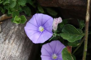 Purple Periwinkles by Makki-Summer