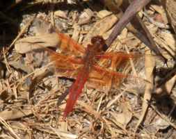 Red dragonfly 1 by fosspathei