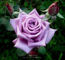 Purple rose by Whizzy16